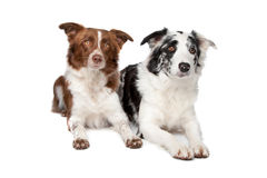 Two Border Collie dogs. Two Border Collie sheep dogs on a white background royalty free stock photos