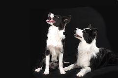 Two border collie dogs on black background. Looking sideways stock images