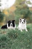 Two Border collie dogs lay on a grass together royalty free stock image