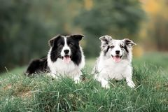 Two Border Collie dogs lay on a grassin the summer green forest royalty free stock photography