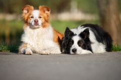 Two border collie dogs lying down outdoors. Two border collie dogs outdoors royalty free stock image