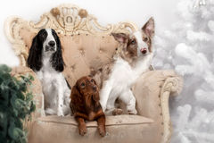 Two border collie dogs and one Dachshund puppy Stock Photos
