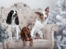 Two border collie dogs and one Dachshund in studio. Two border collie dogs and one Dachshund in the Studio with Christmas decor royalty free stock photos