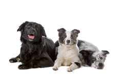 Two border collie dogs and one puppy. Group of two border collie dogs and one puppy resting on the floor, isolated on a white background royalty free stock images