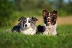 Two border collie dogs posing together. Adorable border collie dog outdoors in summer stock photography