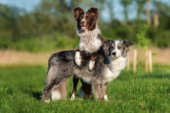Two border collie dogs posing together. Adorable border collie dog outdoors in summer stock photos
