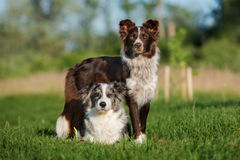 Two border collie dogs posing together. Adorable border collie dog outdoors in summer royalty free stock photography