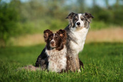 Two border collie dogs posing together. Adorable border collie dog outdoors in summer stock photo