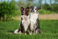 Two border collie dogs posing together. Adorable border collie dog outdoors in summer royalty free stock image