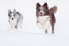 Two Border Collie dogs running. In the snow stock photos