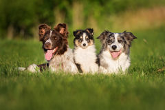 Two border collie dogs and sheltie puppy posing outdoors. Adorable border collie dog outdoors in summer stock image