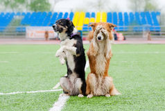 Two border collie dogs show trick. In the stadium in the rain stock photography