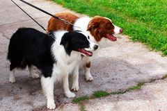 Two border collie dogs. Two border collie breed dogs stand on a concrete path stock photo