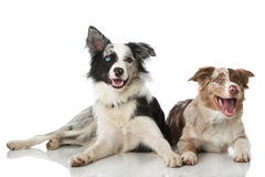 Two border collie dogs. On white stock photography