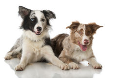 Two border collie dogs stock photos
