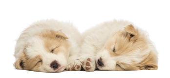 Two Border Collie puppies, 6 weeks old, lying and sleeping. In front of white background Stock Images