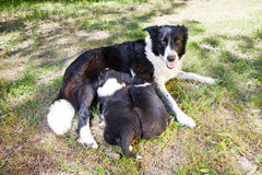 Two Border Collie puppies, suckling mother Border Collie. Border Collie puppies, 6 weeks old, suckling mother Border Collie on the grass field Stock Photos