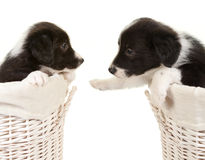 Two border collie pups Stock Images