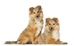 Two Border Collie, sitting and lying next to each other Stock Photo