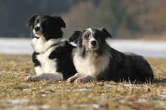 Two border collies. 2 border collies together - black-white and bluemerle stock photography