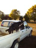 Two border collies in the back of a ute. stock photo