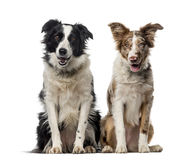 Two Border collies in front of a white background Royalty Free Stock Images