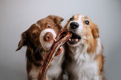Free Two Border Collies Grab And Eat A Treat Stock Images - 156027764