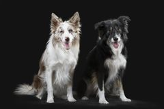 Two border collies on the gray background royalty free stock photo
