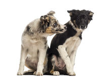 Two Border collies Royalty Free Stock Photography