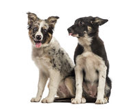 Two Border collies Stock Photography
