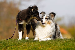 Two border collies Stock Images