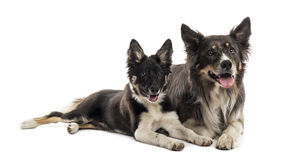 Two Border collies lying Royalty Free Stock Images