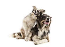 Two Border collies lying Royalty Free Stock Photography