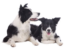 Two border collies lying on white background Stock Image