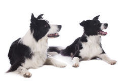 Two border collies lying on white background Stock Photography