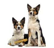 Two Border collies, one is lying with a bone Stock Photo