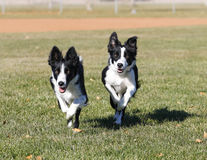 Two border collies running at the park Stock Photos