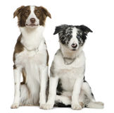 Two Border Collies, sitting Royalty Free Stock Images