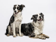 Two Border collies sitting and lying Stock Image