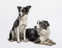 Two Border collies sitting and lying Royalty Free Stock Photography