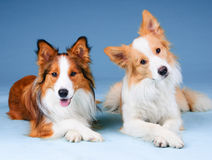 Two border collies in a studio, training dogs. Two border collies in studio, training dogs royalty free stock images