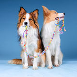 Two border collies and toy Stock Photography