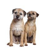 Two Border terriers Royalty Free Stock Photos