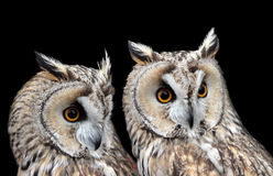 Two Boreal Owls Stock Image