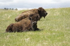Two bored bison Royalty Free Stock Images