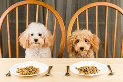 Two bored and uninterested Poodle puppies with two plates of kibbles on the table. Two bored and uninterested Poodle puppies with two plates of kibbles on the Royalty Free Stock Image