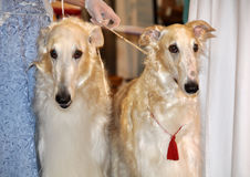 Two borzoi dogs Stock Image
