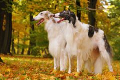 Two Borzoi and humand hand Royalty Free Stock Image