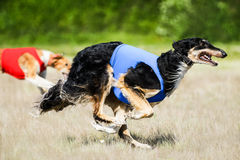 Two Borzoi lure coursing competition. Russian wolfhounds lure coursing competition at the field Royalty Free Stock Photo
