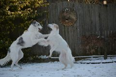 Two Borzoi playing in the snow. Borzoi also known as russian wolfhounds love cold weather and snow Stock Images